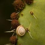 Familia Hygromiidae