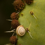 Cernuella virgata - Bolle duinslak