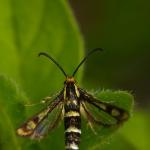 Familia Sesiidae - Wespvlinders