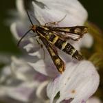 Chamaesphecia empiformis - Schijnwolfsmelkwespvlinder