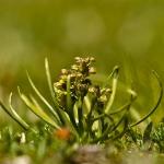 Chamorchis alpina - Dwergorchis