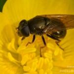 Cheilosia fraterna - Moerasgitje