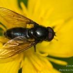 Cheilosia variabilis - Bosgitje