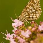 Chiasmia clathrata - Klaverspanner