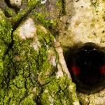 Chilocorus renipustulatus - Wilgenlieveheersbeestje