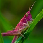 Familia Acrididae - Veldsprinkhanen