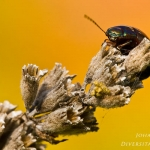 Chrysolina americana - Rozemarijngoudhaantje