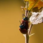 Chrysomela populi - Groot Populierenhaantje