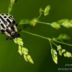 Chrysomela vigintipunctata - Twintigstippelig Wilgenhaantje