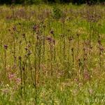 Cirsium palustre - Kale jonker