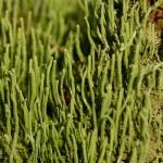 Cladonia coniocraea - Smal bekermos