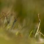 Cladonia furcata - Gevorkt heidestaartje