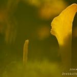 Clavaria argillacea - Heideknotszwam