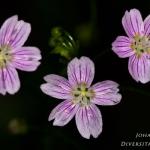 Claytonia sibirica - Roze winterpostelein