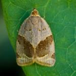 Clepsis dumicolana - Klimopbladroller