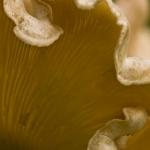 Clitocybe connata - Witte Bundelridderzwam