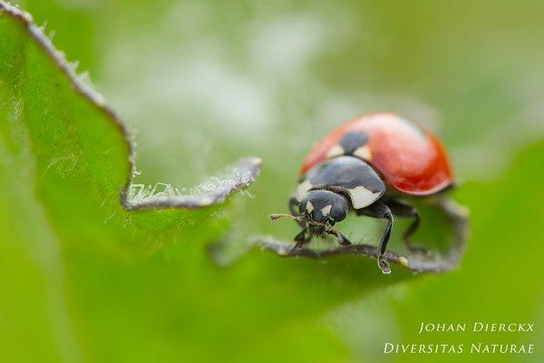 Coccinella quinquepunctata - Vijfstippelig Lieveheersbeestje