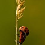 Coccinella septempunctata - Zevenstippelig Lieveheersbeestje