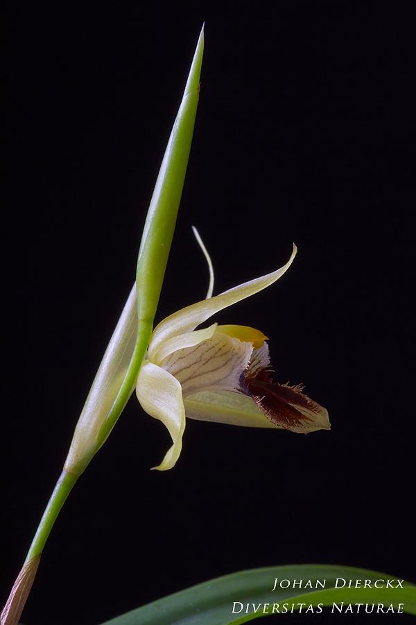 Coelogyne fimbriata