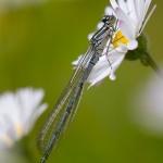 Coenagrion puella - Azuurwaterjuffer