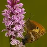 Coenonympha arcania - Tweekleurig hooibeestje