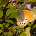 Coenonympha gardetta - Alpenhooibeestje