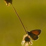 Coenonympha pamphilus - Hooibeestje