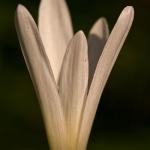 Colchicum autumnale - Herfsttijloos