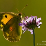 Colias croceus - Oranje luzernevlinder