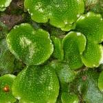 Conocephalum conicum - Kegelmos