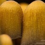 Coprinellus micaceus - Gewone Glimmerinktzwam