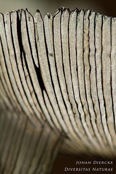 Coprinopsis lagopus - Hazenpootje