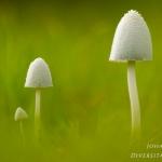 Coprinopsis nivea - Witte mestinktzwam