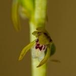 Corallorhiza trifida - Koraalwortel
