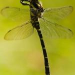 Familia Cordulegastridae - Bronlibellen