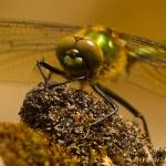 Ordo Odonata - Lilbellen