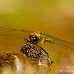 Cordulia aenea - Smaragdlibel