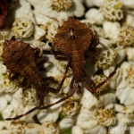 Coreus marginatus - Zuringwants