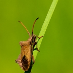 Familia Coreidae - Randwantsen