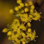 Familia Cornaceae - Kornoeljefamilie