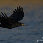 Corvus corone - Zwarte Kraai