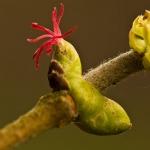 Corylus avellana - Hazelaar