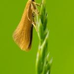 Crassa tinctella - Lichte zwamboorder
