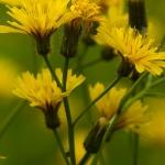 Crepis paludosa - Moerasstreepzaad