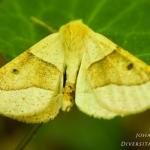 Crocallis elinguaria - Kortzuiger