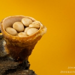 Crucibulum crucibuliforme - Geel nestzwammetje