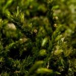 Familia Cryphaeaceae - Vliermosfamilie