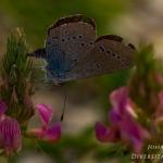 Cupido osiris - Zuidelijk dwergblauwtje