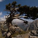 Cupressus sempervirens - Italiaanse cipres