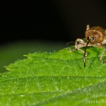 Familia Curculionidae - Snuitkevers